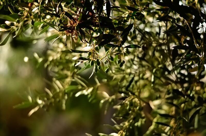 植物性スクワランオイルとは